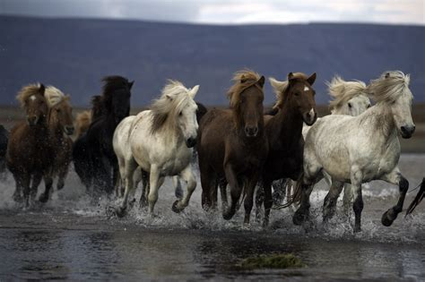 Herd In Iceland - NYC-ARTS