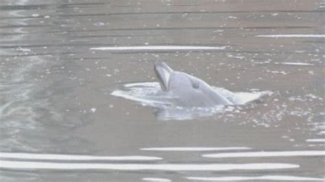 Gowanus Canal: Injured dolphin dies in New York after