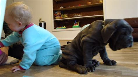 neapolitan mastiff puppy with cute baby - YouTube