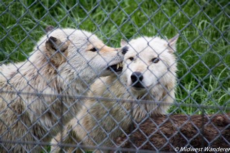 Howling with Wolves at Wolf Park - Midwest Wanderer